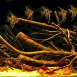 Pterophyllum Scalare e Altum